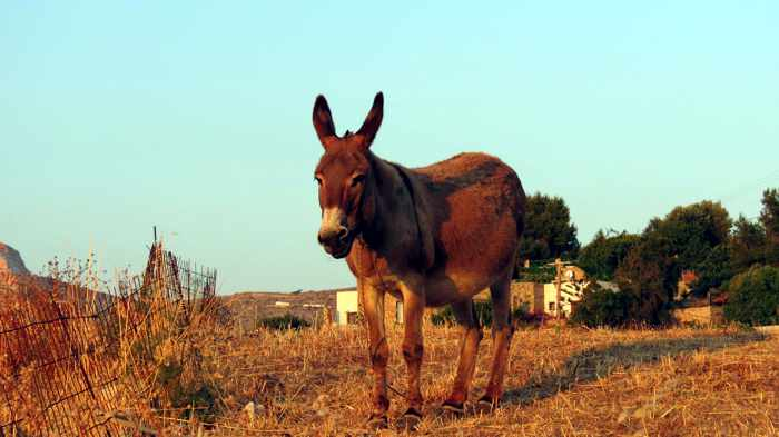 Greece, Greek Islands, Cyclades, Siros,Syros, Syros island, Kini, Kini Bay, Kini Bay Syros, Sini village, village, animal, donkey, mule, field