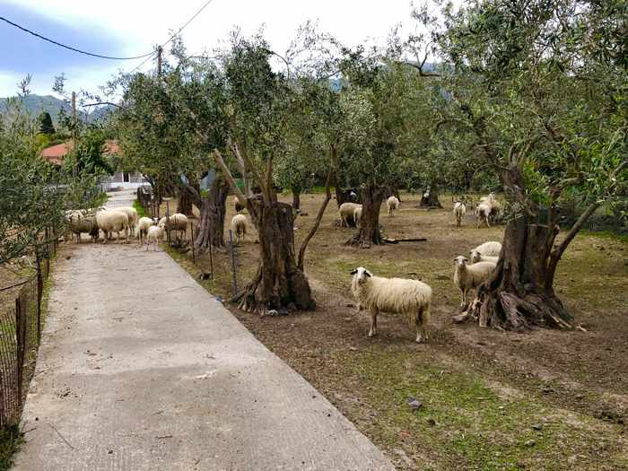 Sheep in an olive tree grove at Molyvos on Lesvos island
