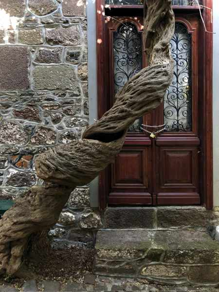 twisted trunk of a wisteria vine in Molyvos on Lesvos island