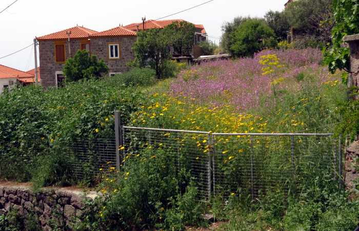 spring flowers in a field in Molyvos town on Lesvos island